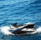Dauphins swimming in the Mediteranean Stock Images