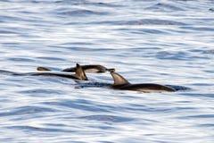 Dauphins tout en nageant en mer bleue profonde Image libre de droits