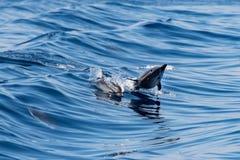 Dauphins tout en sautant en mer bleue profonde Photo libre de droits
