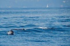 Dauphins tout en sautant en mer bleue profonde Photographie stock libre de droits