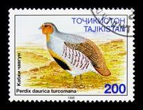 Daurian鹧(Perdix dauricae),鸟serie,大约1996年 免版税库存图片
