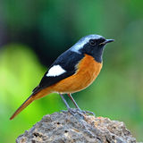 Daurian masculin Redstart Photo stock