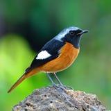 Daurian masculin Redstart Photo stock
