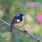 Daurian masculino Redstart Imagens de Stock