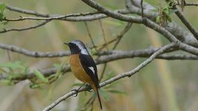 Daurian Redstart (αποδημητικά πτηνά της Ταϊβάν) απόθεμα βίντεο