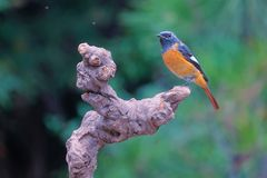 Daurian Redstart photographie stock