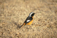 Daurian Redstart Stock Images