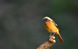 Daurian Redstart Royalty Free Stock Photo