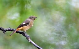 Daurian Redstart Image libre de droits