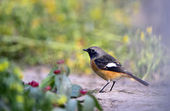 Daurian Redstart Images stock