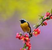 Daurian Redstart Lizenzfreies Stockbild