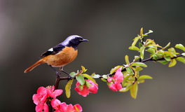 Daurian Redstart Royalty-vrije Stock Foto