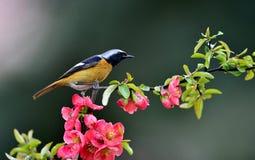 Daurian Redstart Stock Afbeelding