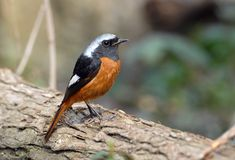 Daurian Redstart. Medium size (15 cm) and brightly coloured red tail Qu Stock Photos
