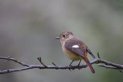 Daurian Redstart Photo stock