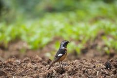 Daurian Redstart Photographie stock