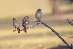 Daurian Redstart Lizenzfreie Stockfotografie