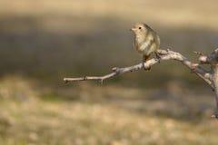 Daurian Redstart Foto de Stock