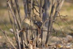 Daurian Redstart Fotografia de Stock Royalty Free