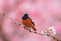 Daurian Redstart. (Phoenicurus auroreus) on cherry blossoms Royalty Free Stock Photography