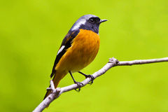 Daurian Redstart birds Stock Image