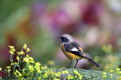 Daurian Redstart Stock Photography