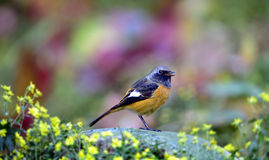 Daurian Redstart Stock Photo