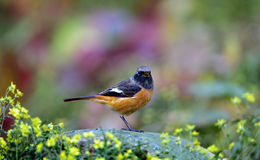 Daurian Redstart Royalty Free Stock Photos