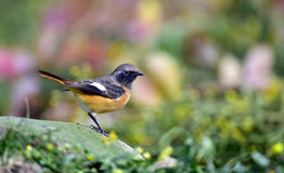 Daurian Redstart Royalty Free Stock Images