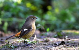 Daurian Redstart Stock Photos