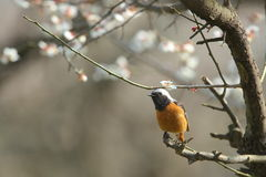 Daurian redstart on the branch of plum tree Stock Photo