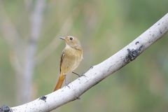 Daurian Redstart. The clos-up of a female Daurian Redstart stands on branch. Scientific name: Phoenicurus auroreus Royalty Free Stock Photos