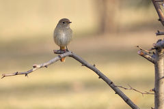 Daurian Redstart Stock Photo