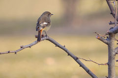 Daurian Redstart Stock Photos