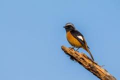 Daurian Redstart die op vernietigde boom neerstrijken Stock Fotografie
