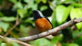 Daurian Redstart stock foto's