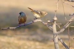 Daurian Redstart en Oosterse Greenfinch Stock Fotografie