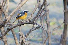 Daurian Redstart. A male Daurian Redstart stands in branches. Scientific name: Phoenicurus auroreus Stock Images
