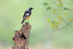 Daurian Redstart. A male Daurian Redstart stands on wood pile. Scientific name:Phoenicurus auroreus Royalty Free Stock Image