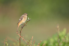 Daurian Redstart Stock Image