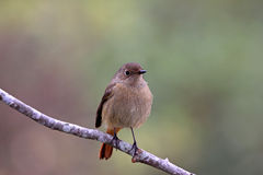 Daurian Redstart, Phoenicurus auroreus Stock Photo