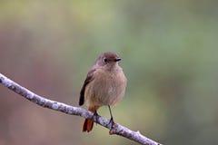 Daurian Redstart, Phoenicurus auroreus Stock Photo