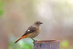 Daurian Redstart, Phoenicurus auroreus Royalty Free Stock Photography