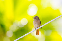 Daurian Redstart standing. With green background Royalty Free Stock Image