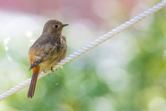Daurian Redstart standing Royalty Free Stock Images