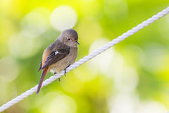 Daurian Redstart standing. With green background Stock Photography