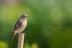Daurian Redstart standing. With green background Stock Images