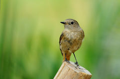 Daurian Redstart. On a wooden perch Stock Image