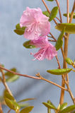 Dauricum del rododendro Immagini Stock