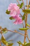Dauricum van de rododendron Stock Afbeeldingen
